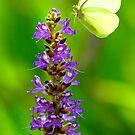 Pickerel Weed Flowers by sailorsedge