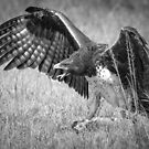 Martial Eagle by Dennis Stewart