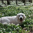 Ditte - a sweet old golden girl by Trine