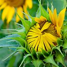 Sunflower-About to Bloom by Mukesh Srivastava