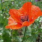 Red Poppy by Ana Belaj