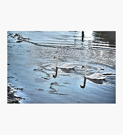 Swan Tranquility !  (interesting info in description) Photographic Print