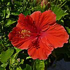 Red Caribbean Hibiscus by Vickie Emms