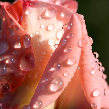 Champagne Bud with rain drops by TeAnne