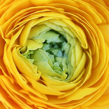 Yellow ranunculus center - 2018 by gwennpaints