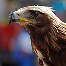 Aquila Heliaca (Imperial Eagle) by HoremWeb