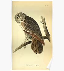 James Audubon Vector Rebuild - The Birds of America - From Drawings Made in the United States and Their Territories V 1-7 1840 - Great Cinereous Owl Poster