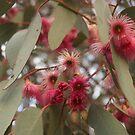 Eucalyptus blossom by Ruth Varenica