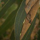 Eucalypt leaf by Ruth Varenica