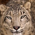 Snow Leopard portrait by David Carton