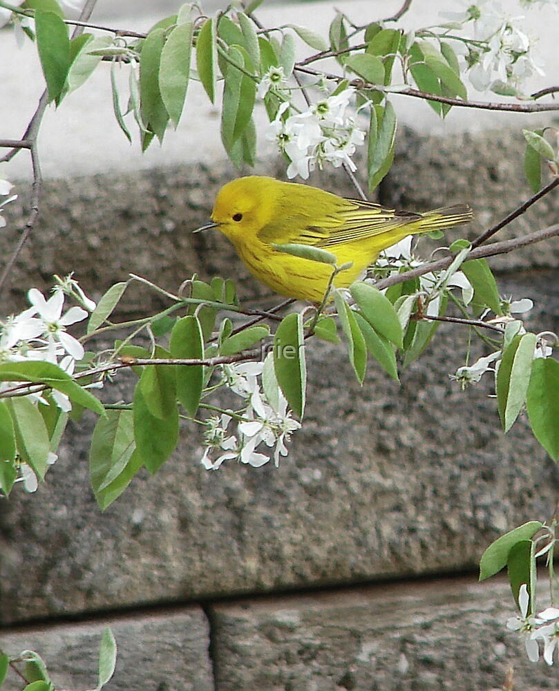 Yellow Warbler by jrier