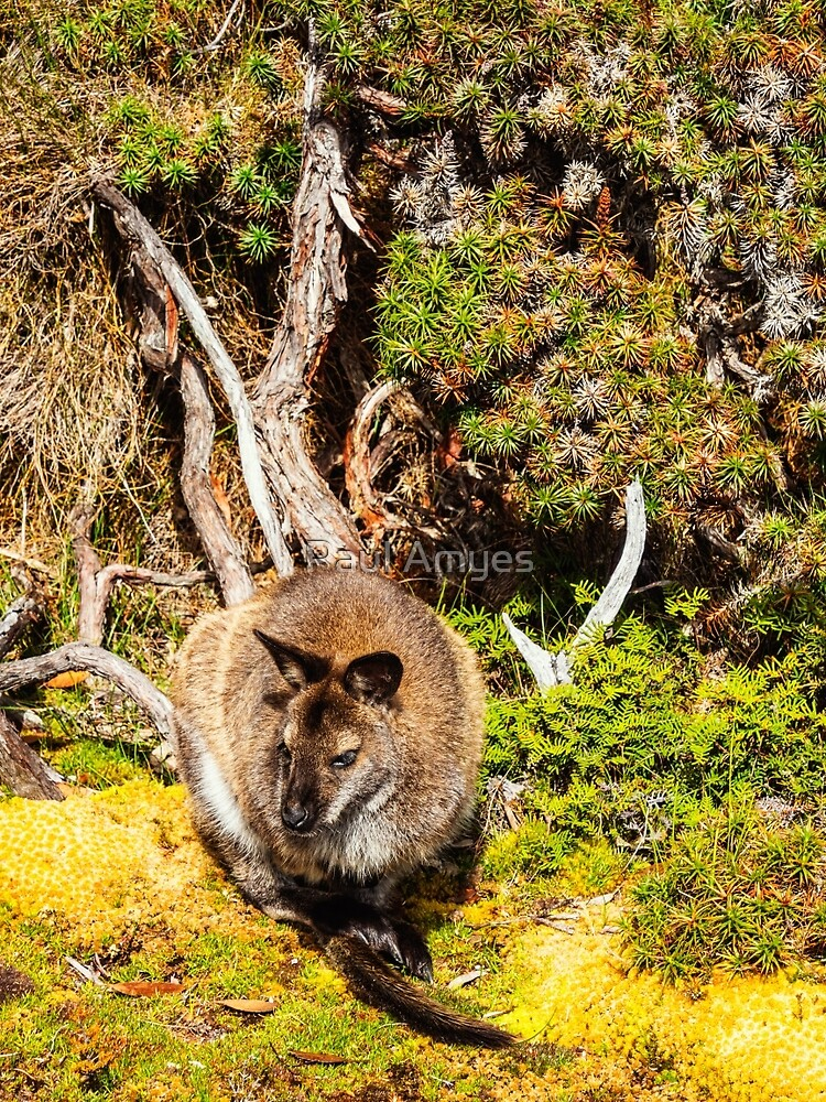 Bennetts Wallaby by AmyesPhotograph