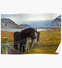 Islandpferde, Grundarfjordur, Snaefellsnes, Island Poster