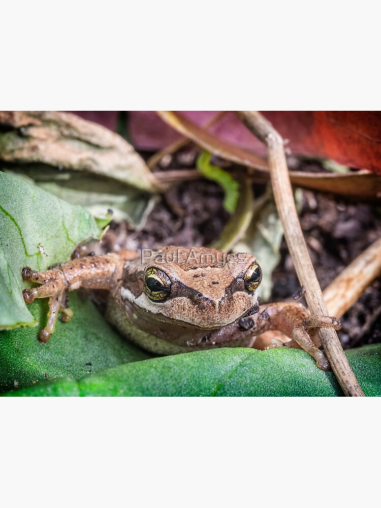 Eastern Common Froglet by AmyesPhotograph