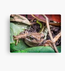 Eastern Common Froglet Canvas Print