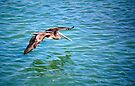 A Pelican in flight by LjMaxx