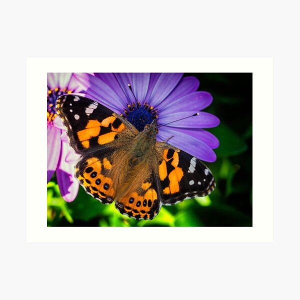 Australian Painted Lady Art Print