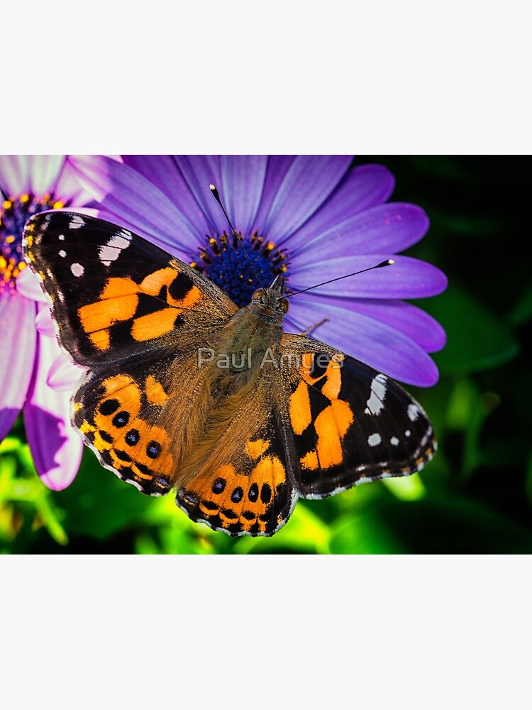 Australian Painted Lady by AmyesPhotograph