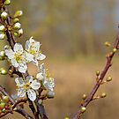 White prunus blossoms by xophotography