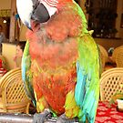 Harlequin Macaw On A Perch by taiche