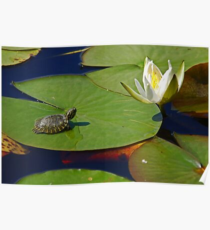 Baby Turtle and Water Lilly Poster