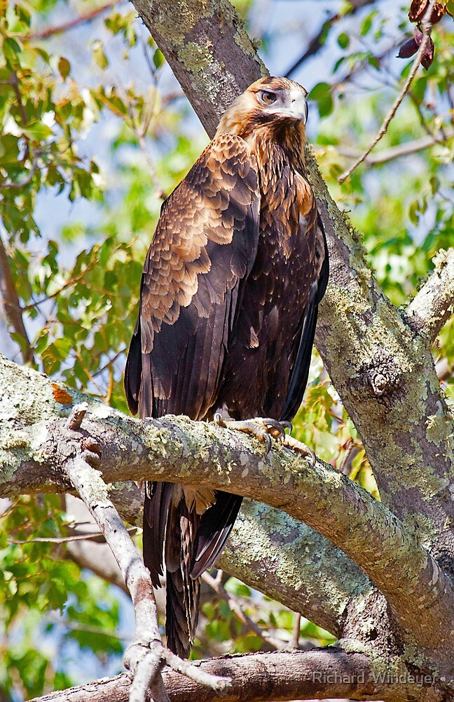 Wedge Tail Eagle in a Kurrajong Tree - Hill End, NSW by Richard  Windeyer