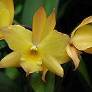 Iwan Apple Blossom Orchid by IndyLady