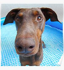 Cute red doberman Poster