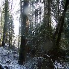 Forest Sun Rays in the Snow #43 by Dawna Morton