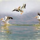 Three White Pelicans by Bo Insogna