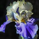 Iris Delight by Barbara Manis