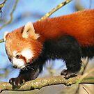 Red Panda by RedHillDigital