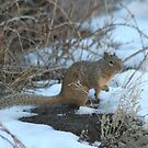Ground Squirrel by Arla M. Ruggles