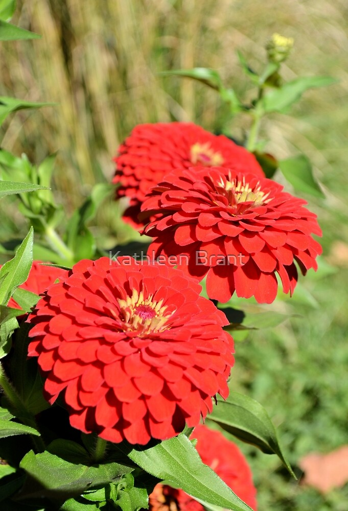 Red Zinnias in Profile by Kathleen Brant