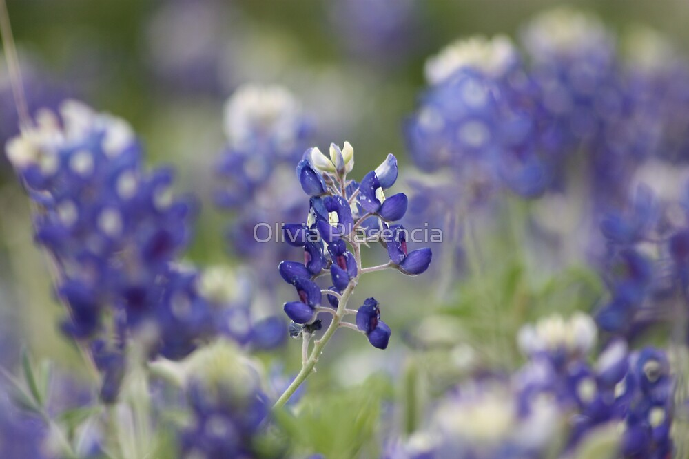 Blue Bonnets by Olivia Plasencia