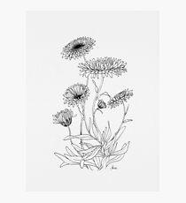 Calendula Flower Photographic Print
