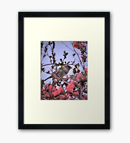 Hiding Among Quince Blossoms Framed Print