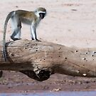 Vervet Monkey Crossing by Dennis Stewart