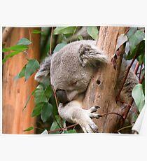 Australischer Koala schlafend im Baum Poster