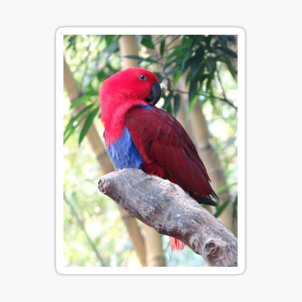 Eclectus Roratus - Bright Red Bird Sticker