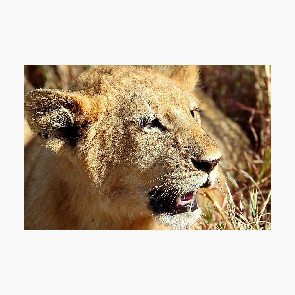 Closeup Lion Cub, Maasai Mara, Kenya  Photographic Print