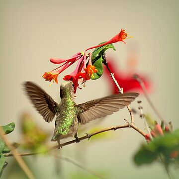 Hummingbird In My Backyard by DianaG