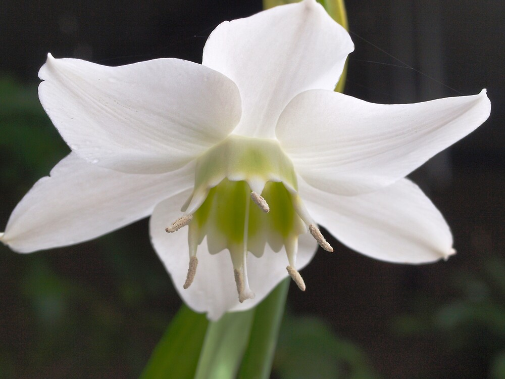 Eucharis  lilly by Anna D'Accione