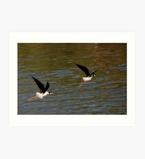 Black neck Stilts Art Print