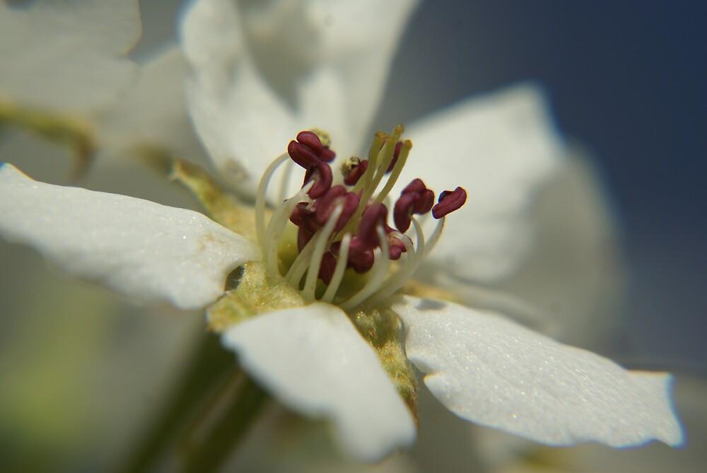 Pear tree blossom by Cassy Greenawalt