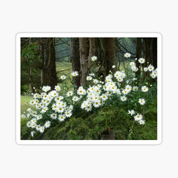 Sheltering daisies. Sticker