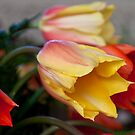 Blushing Beauty by Barb White
