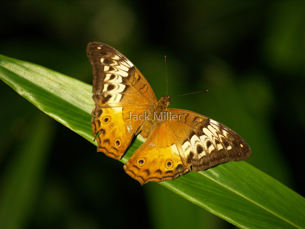 Butterfly by Jack Miller