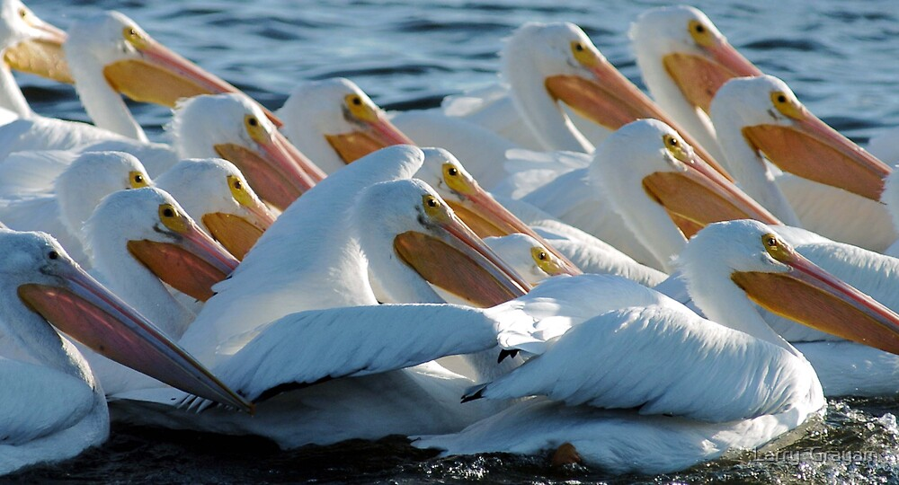 Crowd of White Pelicans by Larry  Grayam