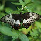 Butterfly 2 by Jack Miller